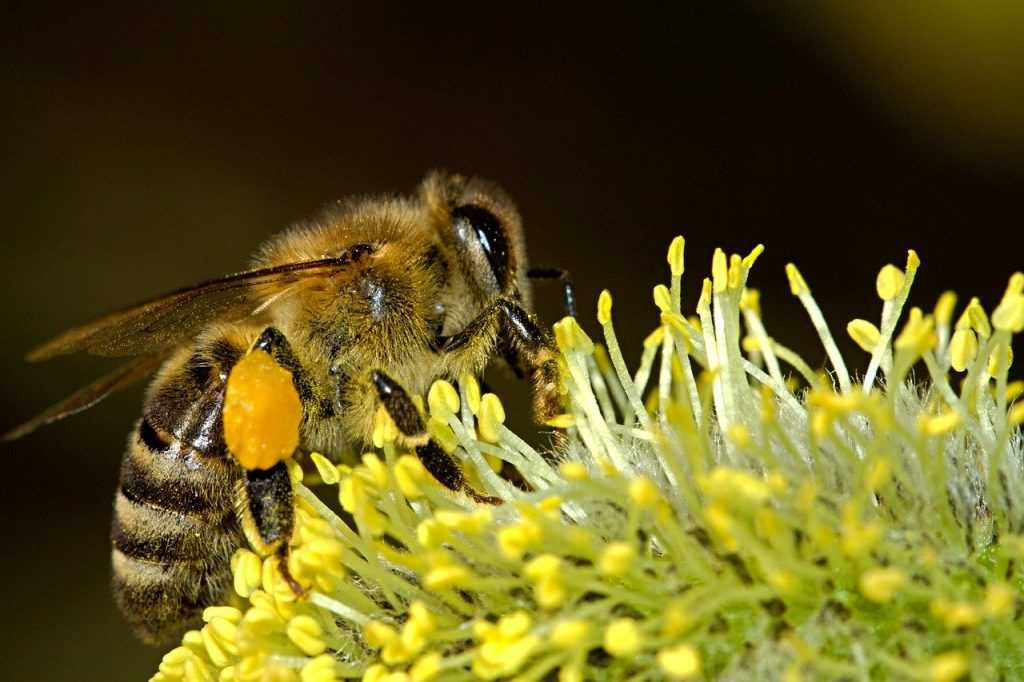 bee, insect, nectar