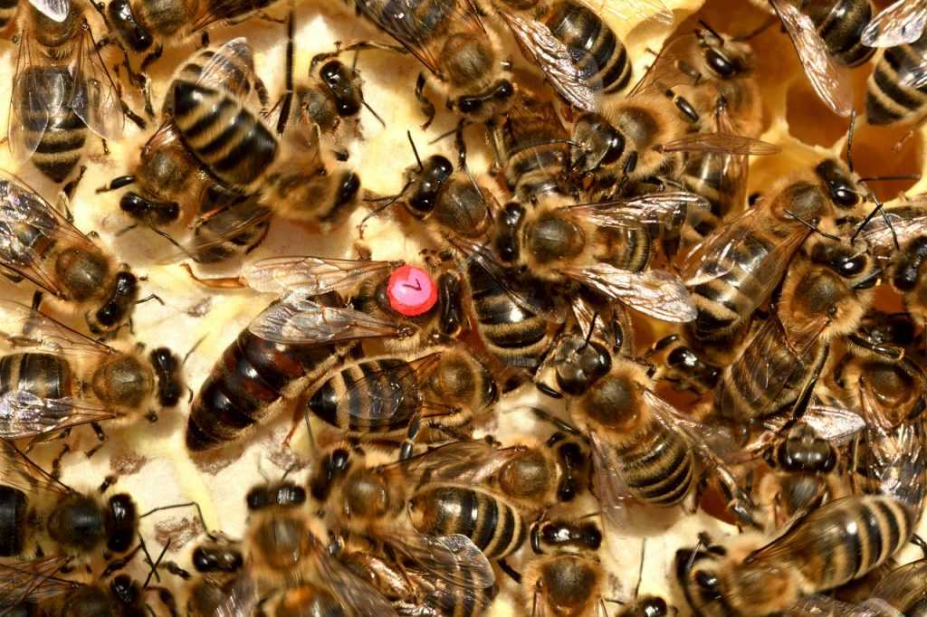 bee, queen, insect
