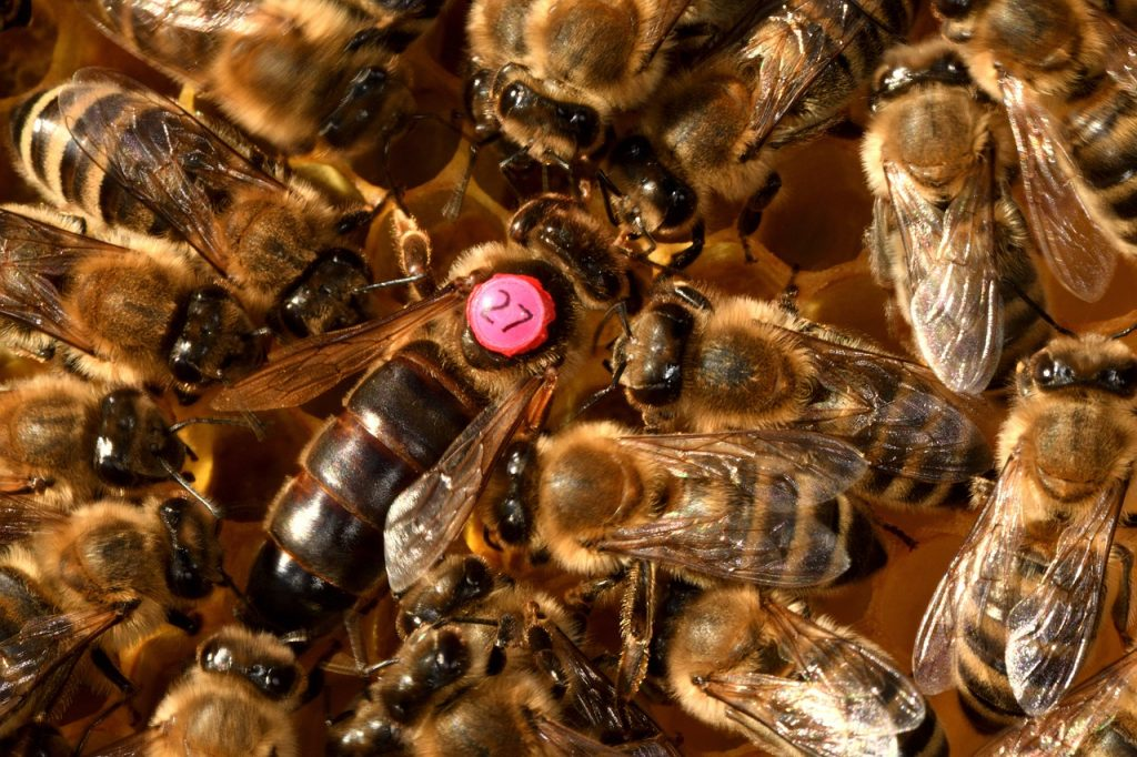 queen bee, bees, insect