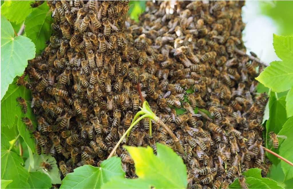 wyrojone pszczoły