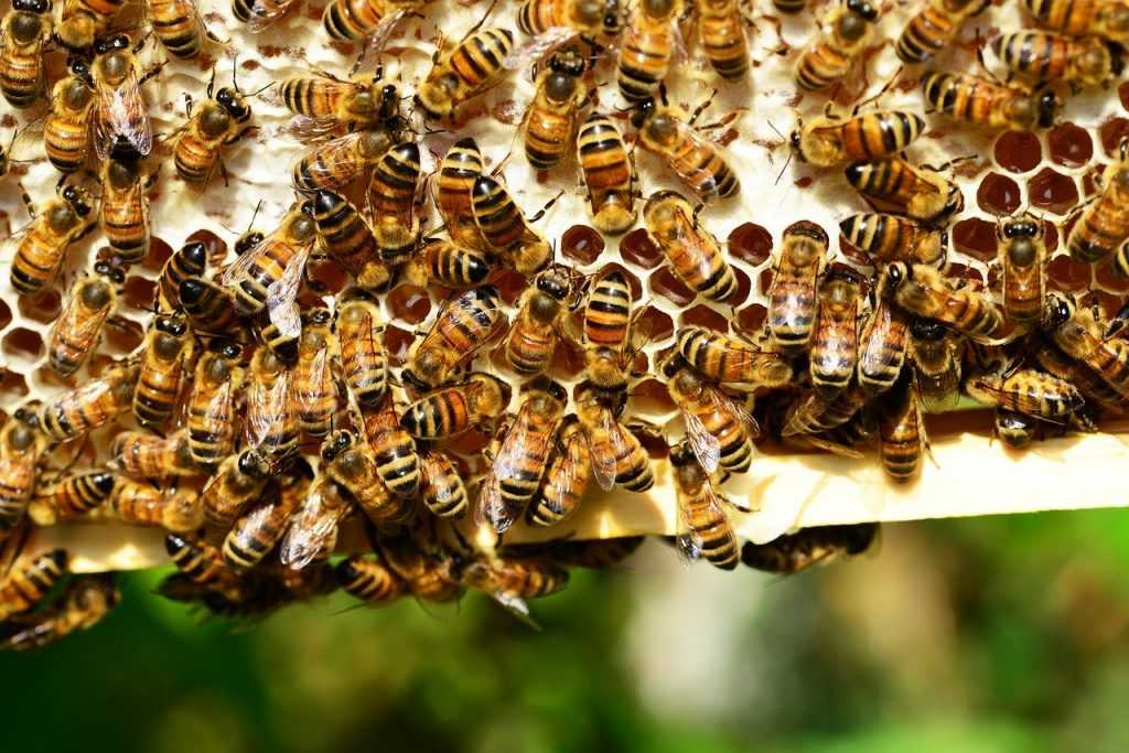 honey bees, insects, hive