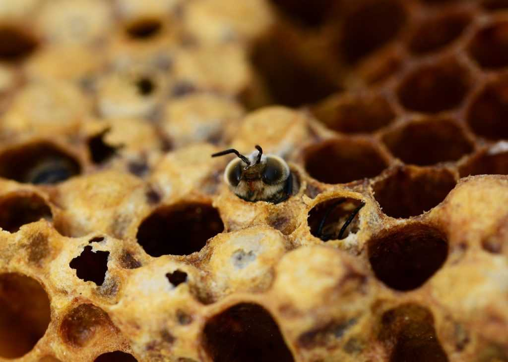 honey bees, drone, hatching